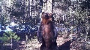 野生熊のダンスする姿をカメラが捕らえた!!!?セクシーダンス熊!